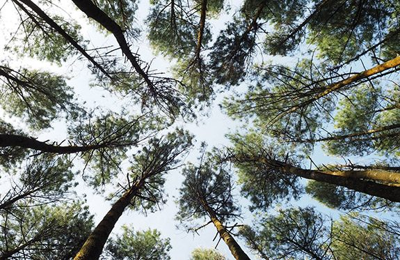 Worm's eye view of trees